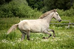 Gray andalusian horse galloping at flower field Royalty Free Stock Photography
