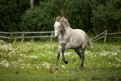 Gray andalusian horse galloping at flower field Stock Images