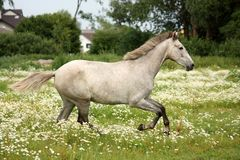 Gray andalusian horse galloping at flower field Royalty Free Stock Photo