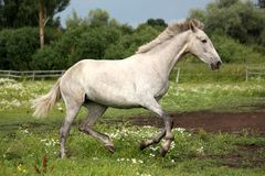 Gray andalusian horse galloping at flower field Royalty Free Stock Photos