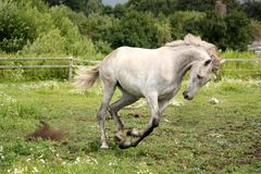 Gray andalusian horse galloping at flower field Royalty Free Stock Images