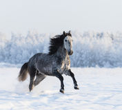 Gray Andalusian horse galloping on meadow in fresh snow Stock Image