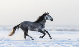 Gray Andalusian horse galloping on meadow in fresh snow Royalty Free Stock Photo