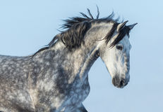 Gray Andalusian Horse in motion. Portrait of Spanish horse. Gray Andalusian Horse in motion. Portrait of Spanish horse on blue sky Stock Photos
