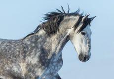 Gray Andalusian Horse nel moto Ritratto del cavallo spagnolo Fotografie Stock