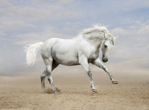 Gray Andalusian-paard in woestijn Stock Foto