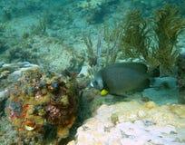 Gray Angel Fish Stock Photos