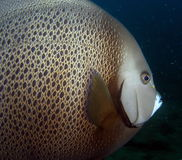 Gray Angelfish Stock Photography