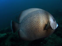 Gray Angelfish Royalty Free Stock Photos