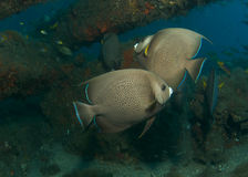 Gray Angelfish Stock Images