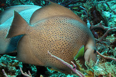 Gray Angelfish fotografía de archivo libre de regalías
