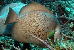 Gray Angelfish Royalty-vrije Stock Fotografie