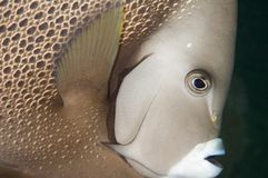 Gray Angelfish. Holacanthus arcuatus, taken in south east Florida waters Royalty Free Stock Photography