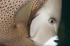 Gray Angelfish Royalty Free Stock Photography