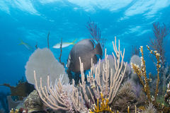 Gray Angelfish stock afbeeldingen