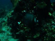 Gray Angelfish stock images