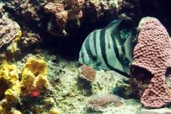 Gray Angelfish-close-up stock foto's