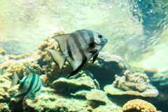 Gray Angelfish closeup Stock Image