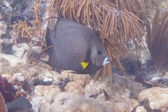 Gray Angelfish on Coral Reef royalty free stock photography