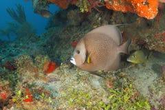 Gray Angelfish on a Coral Reef - Roatan. Gray Angelfish on a Coral Reef (Pomacanthus arcuatus) - Roatan, Honduras stock images