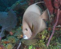 Gray Angelfish op Coral Reef - een Roatan stock fotografie