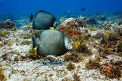 Gray Angelfish Pomacanthus-arcautus op koraalrif stock fotografie