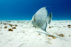 Gray Angelfish Pomacanthus-arcautus op wit zand stock afbeelding