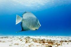 Gray Angelfish Pomacanthus-arcautus op wit zand royalty-vrije stock afbeeldingen