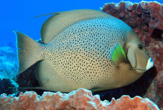 Gray Angelfish royalty free stock photography