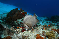 Gray Angelfish (Pomacanthus arcuatus) - Cozumel, M. Gray Angelfish (Pomacanthus arcuatus) foraging on a coral reef in Cozumel, Mexico Royalty Free Stock Image