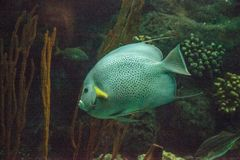 Gray angelfish Pomacanthus arcuatus. Swims through a coral reef stock photos