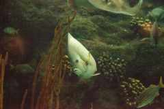 Gray angelfish Pomacanthus arcuatus. Swims through a coral reef stock image
