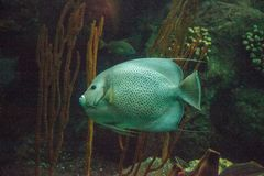 Gray angelfish Pomacanthus arcuatus. Swims through a coral reef stock photo