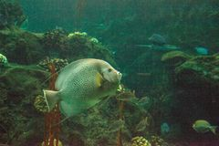 Gray angelfish Pomacanthus arcuatus. Swims through a coral reef stock images