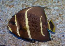 Gray Angelfish Pomacanthus Paru juvenil imagenes de archivo
