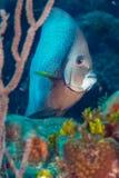 Gray Angelfish portait stock photography