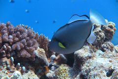 A gray angelfish Stock Photo