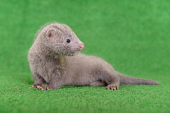 Gray animal mink Royalty Free Stock Photo