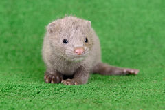 Gray animal mink Royalty Free Stock Images