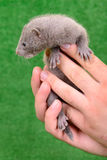 Gray animal mink Royalty Free Stock Photography