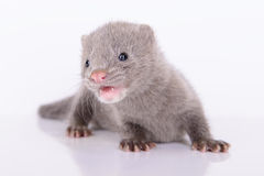Gray animal mink Stock Photography