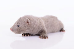 Gray animal mink Royalty Free Stock Photos