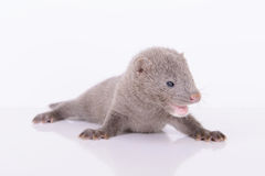 Gray animal mink Stock Photos