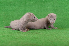 Gray animals mink Stock Photo