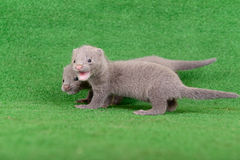 Gray animals mink Stock Image