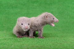 Gray animals mink Royalty Free Stock Photo