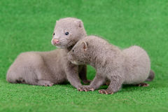 Gray animals mink Royalty Free Stock Photos