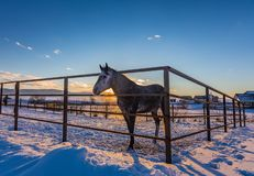 A gray in apples horse behind a ranch fence at sunset, Altai, Russia royalty free stock photography