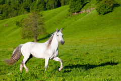 Gray Arab häst Royaltyfri Fotografi