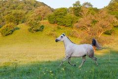 Gray Arab häst Royaltyfria Foton